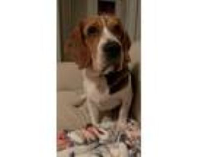 Adopt Oliver a White - with Brown or Chocolate Basset Hound / Beagle / Mixed dog