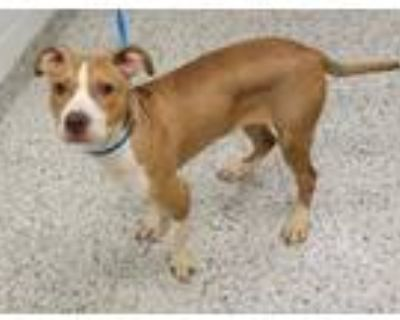 Adopt Hestia a Pit Bull Terrier, Mixed Breed