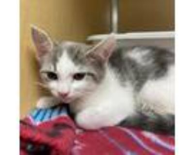 Adopt Grace a Gray or Blue Domestic Shorthair / Mixed cat in Chesapeake
