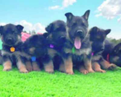 German Shepherd Puppies AKC. Males / Females available of working lines. Great temperament,...