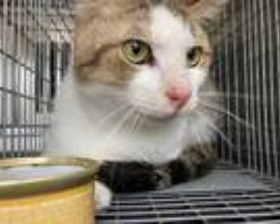Adopt a White (Mostly) American Shorthair / Mixed (short coat) cat in