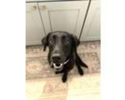 Adopt Lily a Labrador Retriever