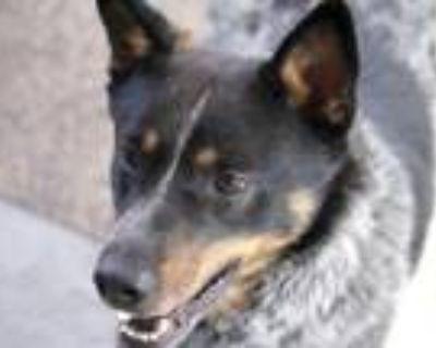 Adopt JAKE a Australian Cattle Dog / Blue Heeler