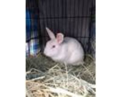 Adopt Artic a Albino or Red-Eyed White New Zealand / Mixed (short coat) rabbit