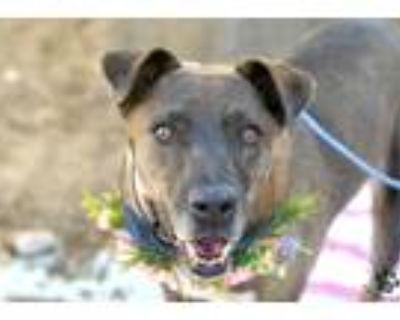 Adopt Nellie a Black Labrador Retriever / Mixed dog in Anza, CA (30468396)