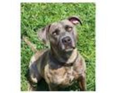 Adopt *SPROCKET a Brindle American Pit Bull Terrier / Mixed dog in Modesto