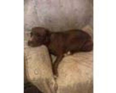 Adopt Logan a Red/Golden/Orange/Chestnut American Pit Bull Terrier / Mixed dog