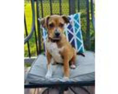 Adopt Maple a Pit Bull Terrier