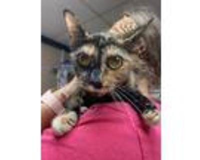 Adopt Petunia a Tortoiseshell Domestic Shorthair (short coat) cat in Newport