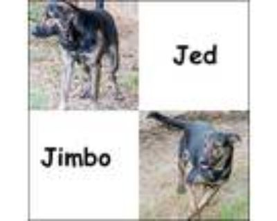 Adopt Jed & Jimbo a Black - with Brown, Red, Golden, Orange or Chestnut Labrador