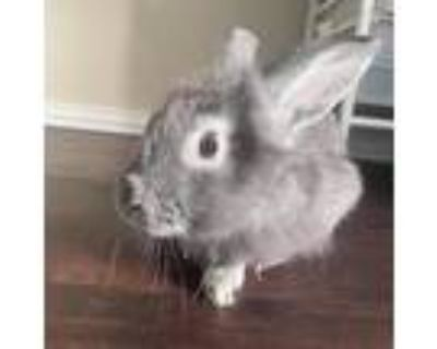 Adopt Bugs a Grey/Silver American / Mixed (medium coat) rabbit in Fort Worth