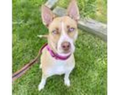 Adopt Scarlet a Tan/Yellow/Fawn Husky / Mixed dog in Indianapolis, IN (31987205)