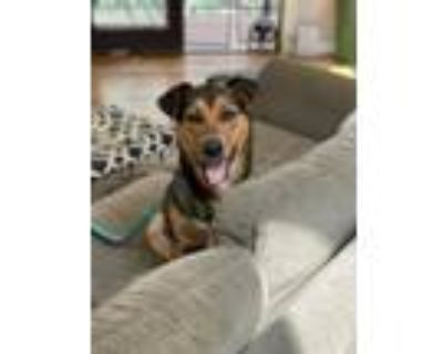 Adopt Sissy a Brown/Chocolate - with Tan Shepherd (Unknown Type) / Mixed dog in