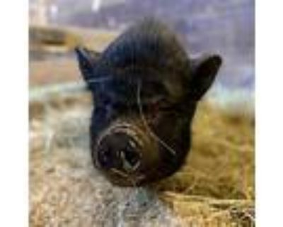 Rubber Ducky, Pig (potbellied) For Adoption In Asheville, North Carolina