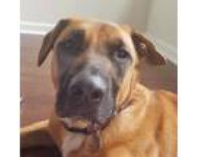 Adopt Vinny a Tan/Yellow/Fawn Black Mouth Cur / Shepherd (Unknown Type) / Mixed
