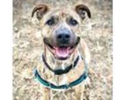 Adopt Derby a Terrier, Pit Bull Terrier