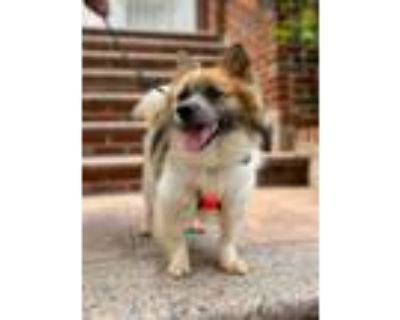 Adopt Latte a White - with Brown or Chocolate Spitz (Unknown Type