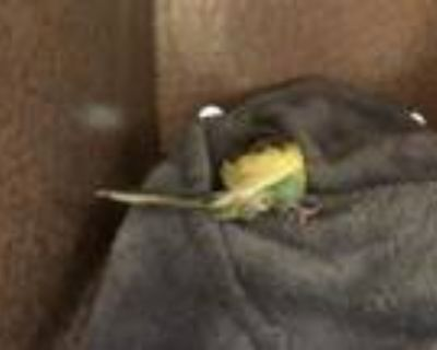Adopt A499468 a Parakeet (Other)