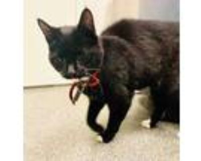 Adopt Bailey a All Black Domestic Shorthair / Domestic Shorthair / Mixed cat in