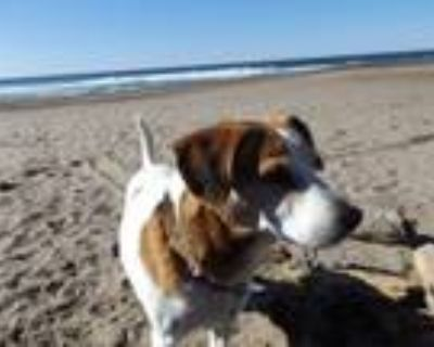 Adopt Beans a White - with Tan, Yellow or Fawn Beagle / Jack Russell Terrier /