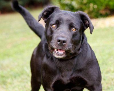 Corbi 11314 - Retriever, Black Labrador/Terrier, Pit Bull - Adult Male
