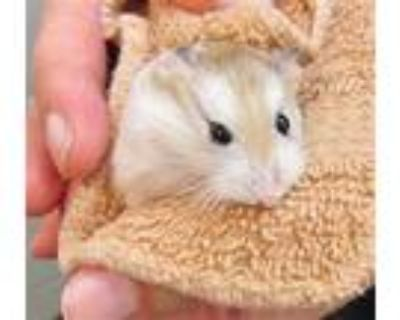 Adopt TRAVIS a Brown or Chocolate Hamster / Mixed small animal in Derwood