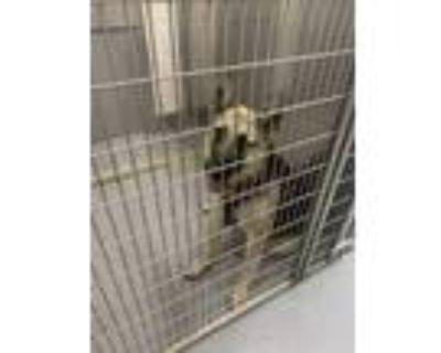 Adopt Willow a Tan/Yellow/Fawn German Shepherd Dog / Mixed dog in Greenwood