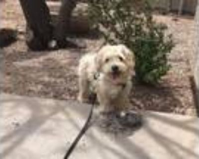 Adopt Brimley a Shih Tzu, Poodle