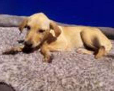 Adopt Lucy a Yellow Labrador Retriever