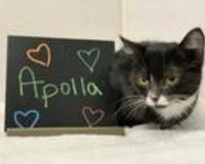 Adopt Apolla a All Black Domestic Shorthair / Domestic Shorthair / Mixed cat in