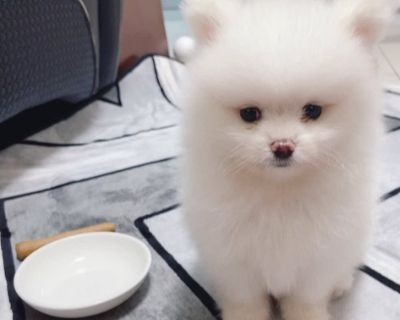 Cute and healthy male and female Teacup Pomeranian puppies