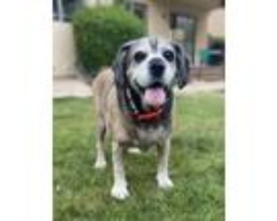 Adopt Tank a Tan/Yellow/Fawn - with Black Beagle / Basset Hound / Mixed dog in