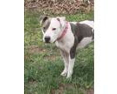 Adopt Celly a Pit Bull Terrier