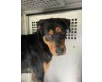 Adopt Tucker a Black Rottweiler / Mixed dog in Fort Worth, TX (31137458)