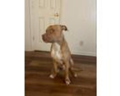 Adopt Bryck a Red/Golden/Orange/Chestnut American Pit Bull Terrier / Mixed dog