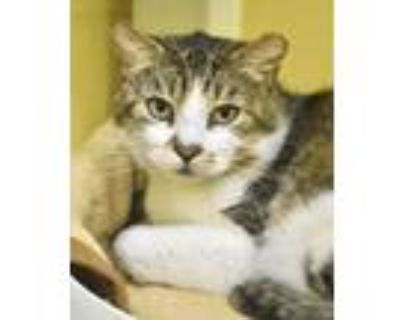 Adopt Chaps a Brown or Chocolate Domestic Shorthair / Domestic Shorthair / Mixed