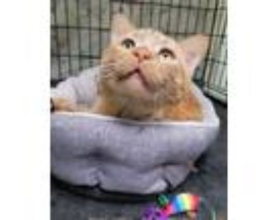 Adopt Morris a Domestic Short Hair