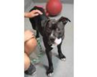 Adopt Thunder a Black American Pit Bull Terrier / Mixed dog in Williamsburg