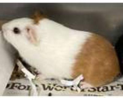 Adopt Hammy a Guinea Pig