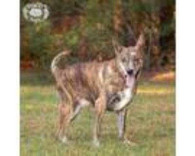 Adopt Tim a Catahoula Leopard Dog, Plott Hound