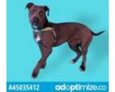 Adopt Rosita a Brown/Chocolate American Pit Bull Terrier / Mixed dog in El Paso