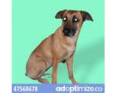"""Adopt Isabel """"Izzy"""" a Shepherd, Mixed Breed"""