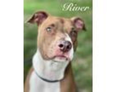Adopt River a Pit Bull Terrier