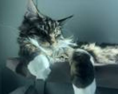 Adopt Brego a Brown Tabby Maine Coon / Mixed (long coat) cat in Los Angeles