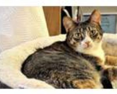 Adopt Whispurr (Bonded to Pecan) a Domestic Short Hair, Tabby