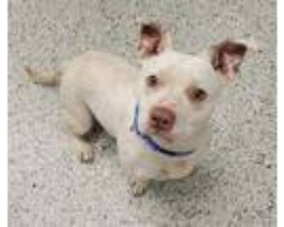 Adopt Lucas a White American Pit Bull Terrier / Mixed dog in Kansas City