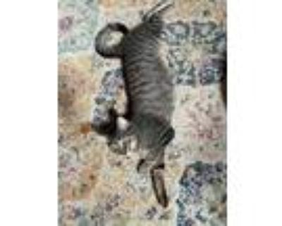 Adopt Mulligan a Brown or Chocolate Domestic Shorthair / Mixed cat in