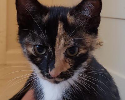 Ruby - Domestic Shorthair - Kitten Female