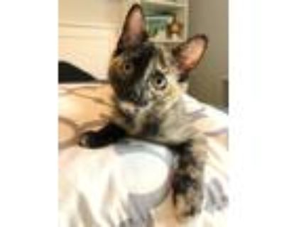 Adopt Harley 3155 a Domestic Shorthair / Mixed cat in Bonsall, CA (32141933)