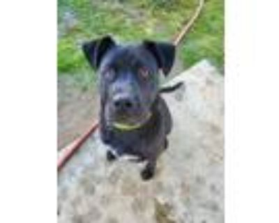 Adopt Chevy a Black Cane Corso / American Pit Bull Terrier / Mixed dog in